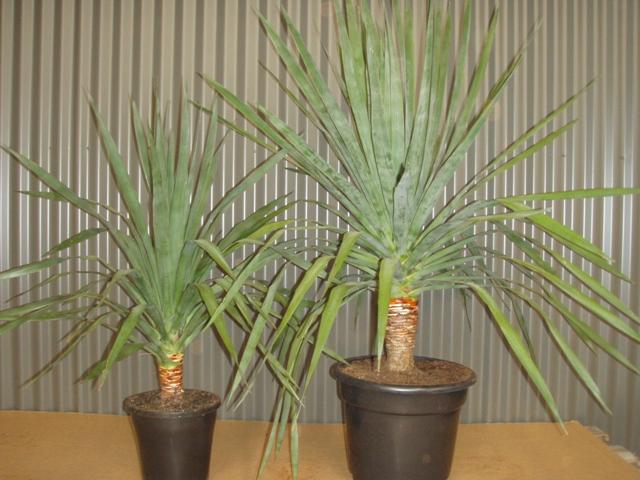 Драцена драконово дерево: уход и выращивание в домашних ...