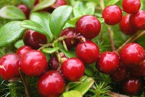 Лекарственные свойства ягоды клюквы